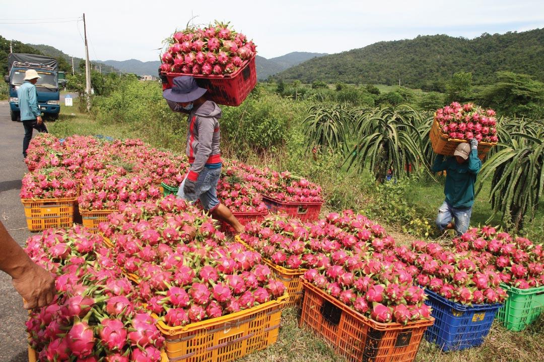 Thanh long, một đặc sản của Bình Thuận